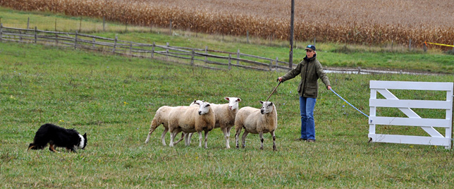 National Sheepdog Finals, Belle Grove Plantation, October 8-13, 2013
