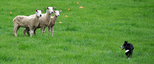 Belle Grove Sheep Dog Trials, Novice and Nursery classes, Middletown, Virginia, April 29-30, 2011